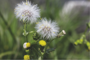 Mississippi State University researchers say herbicide-resistent groundsel was reported as early as 1970. PHOTO: ©istock.com/Whiteway.