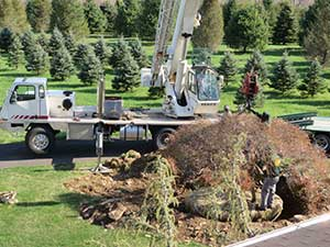 Large tree relocation requires specialty equipment and know-how.