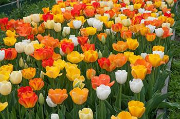 Colorblends' Bedspread Tulip Blend Chardonnay.