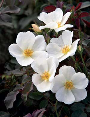 The-White-Knock-Out-Rose