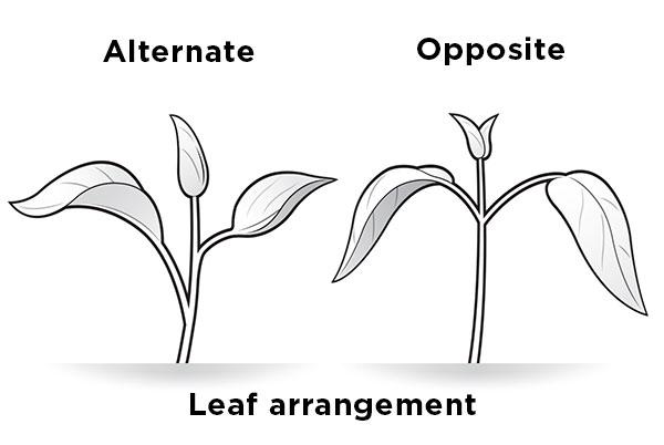 identify-weeds-broadleaf