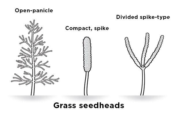 identify-weeds-grass-like
