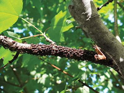 How to recognize and manage scale insects