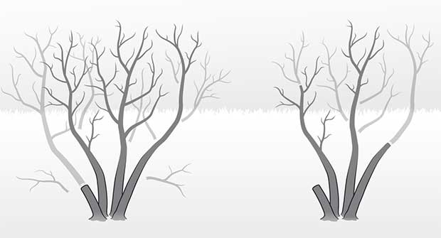 winter pruning. Illustration: David Preiss