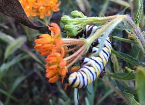 Milkweed plant and pollinator (Photo: LandscapeHub)