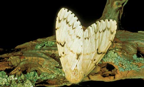 European Gypsy Moth (Photo: USDA APHIS PPQ , USDA APHIS PPQ, Bugwood.org)
