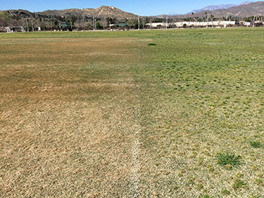 Bermudagrass on the left side was treated with Kerb on Nov. 20, 2017, and the photo was taken two months after application. The green tinge on the right is the individual Poa annua plants germinating in the midst of the Bermudagrass going into dormancy. (Photo: Gil Del Rosario, Corteva Agriscience™, Agriculture Division of Dow DuPont)