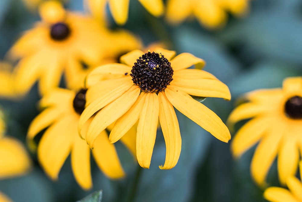 Iconic daisy (Photo: John Mini Distinctive Landscapes)