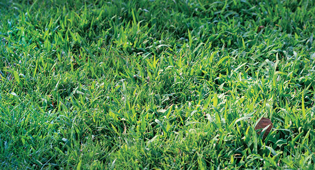 Crabgrass (Photo: Gil del rosario, Corteva Agriscience, Agriculture Division of Dow DuPont)