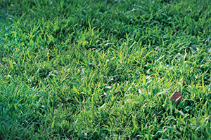 A strong fertilization and aeration program can combat the spread of crabgrass. (Photo: Gil del Rosario, Corteva Agriscience, Agriculture Division of Dow DuPont)