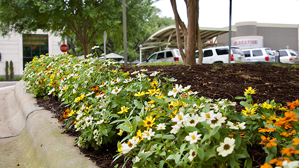 Annual color bed at The Domain (Photo: Greg Yount, Native Land Design)