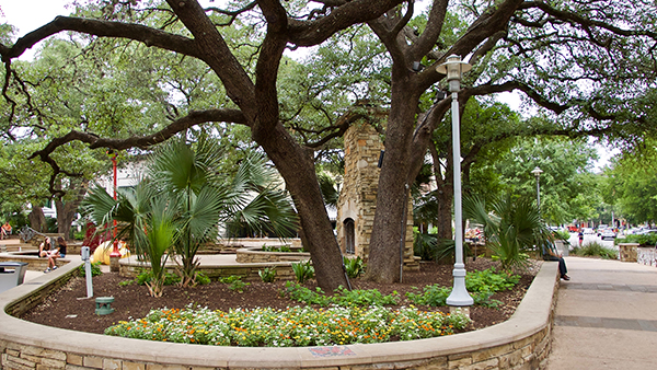 Large heritage oak trees at The Domain (Photo: Greg Yount, Native Land Design)