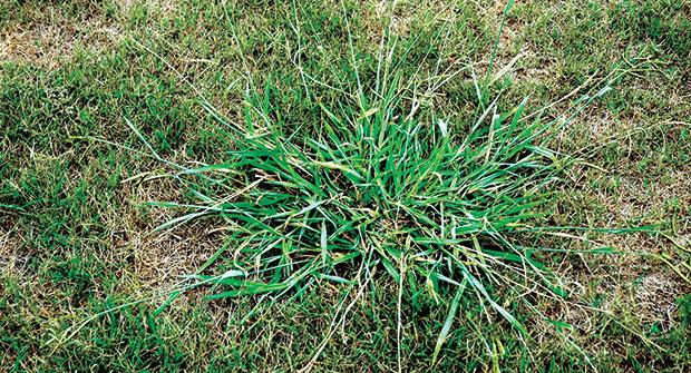 Dallisgrass (Photo: PBI-Gordon)