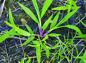 Crabgrass (Photo: FMC)