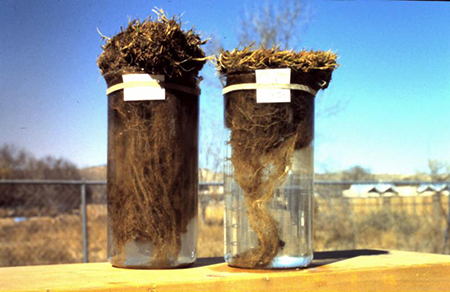 Root growth when turf has been treated with CytoGro (left) and without. (Photo: Ecologel Solutions)