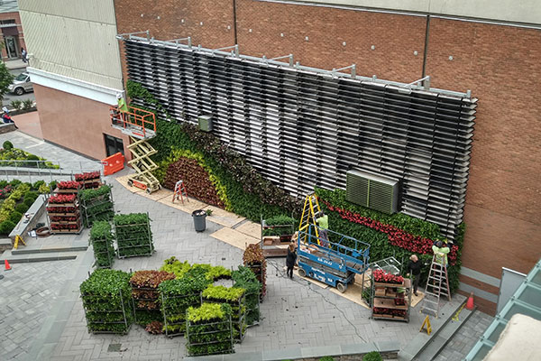Green wall install (Photo: Raimondi Horticultural Group)