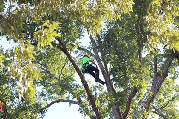 Expert tree climber (Photo: Davey Tree Expert Co.)