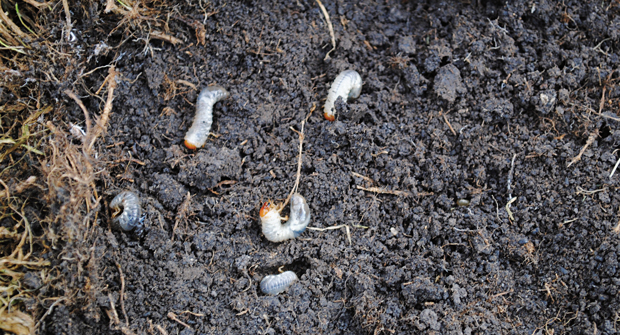Taking a preventive approach to dealing with grubs is often the most effective control method. Photo: Bayer