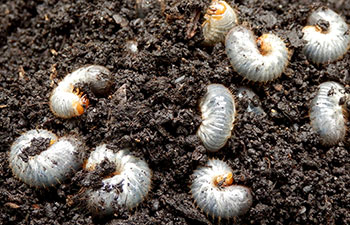 Grubs in soil (Photo: Omaha Organics)