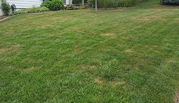 Grub-infested lawn (Photo: Omaha Organics)
