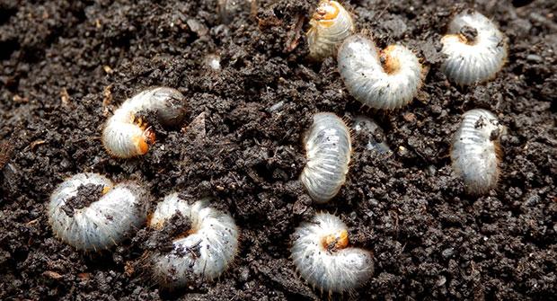 Grubs in soil (Photo: Omaha Organics)