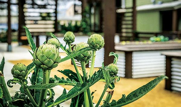 Blooming artichoke (Photo: Pacific Coast Land Design)