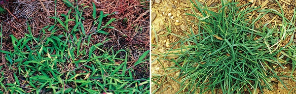 crabgrass and goosegrass (Photos: James H. Miller & Ted Bodner, Southern Weed Science Society, Bugwood.org; John D. Byrd, Mississippi State University, Bugwood.org)