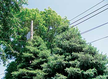 Tree near power line (Photo: John C. Fech)