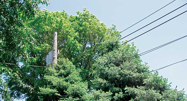 Tree near power line (Photo: John C. Fech)