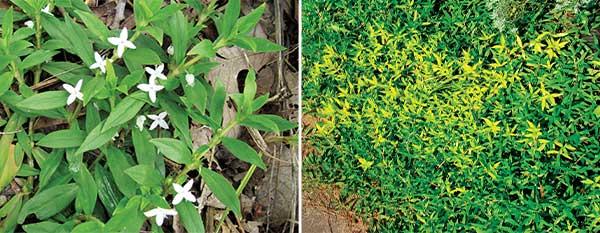 Virginia buttonweed (Photo: PBI-Gordon)