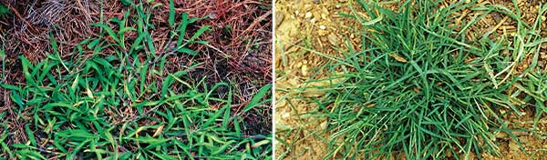 How lawn care operators attack crabgrass and goosegrass often depends on turf and weed type. (Photos: James H. Miller & Ted Bodner, Southern Weed Science Society, Bugwood.org;