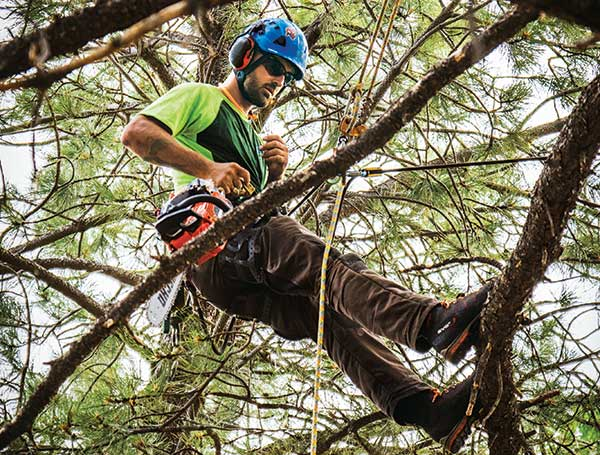 Tree care expert in tree (Photo: Timberline Landscaping)