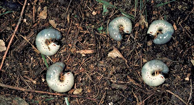 Grubs (Photo: Robert L. Anderson, USDA Forest Service, Bugwood.org)