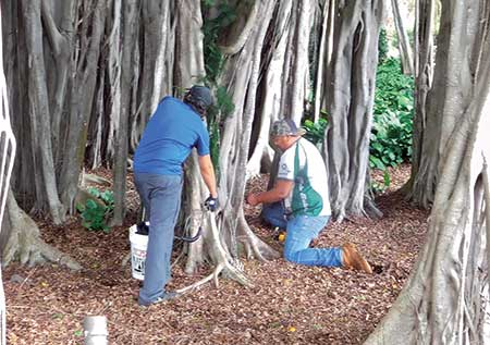 People injecting a tree (Photo: Tree Solutions Hawaii)