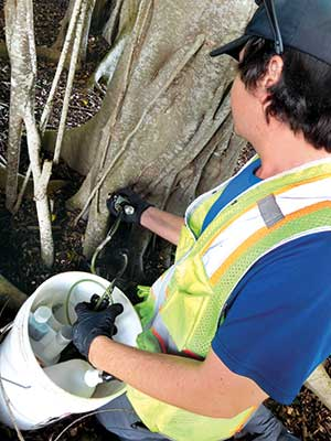 Person injecting a tree (Photo: Tree Solutions Hawaii)