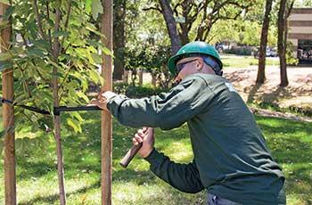 Person doing tree maintenance (Photo: Cagwin & Dorward)