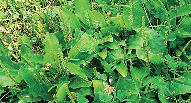 Broadleaf plantain (Photo: Syngenta)