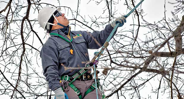 Tree care professional pruning (Photo: Davey Tree Expert Co.)