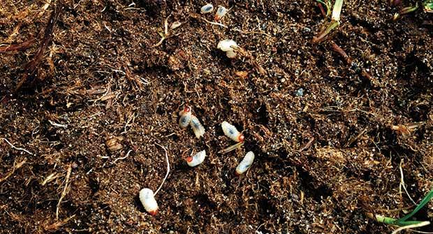 Billbugs (Photo: Dean Mosdell, Ph.D.)