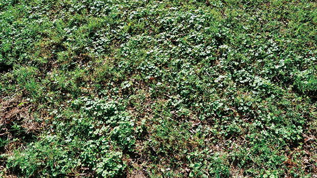 Ground ivy features square stems and smells like mint if crushed. (Photo courtesy of PBI-Gordon.)
