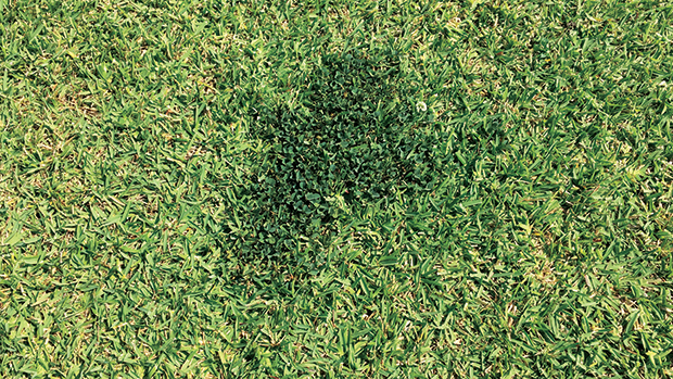 White clover is the most common type of clover that can be found in turfgrass. (Photo courtesy of PBI-Gordon Corp.)