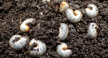 Grubs in soil (Photo: Nufarm)