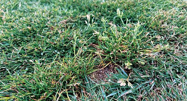Poa annua in a lawn (Photo: Ben Pease)