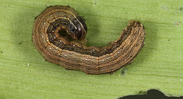 Turf-loving fall armyworms are damaging turf from Illinois through Connecticut (Photo by: Lyle Buss, University of Florida).